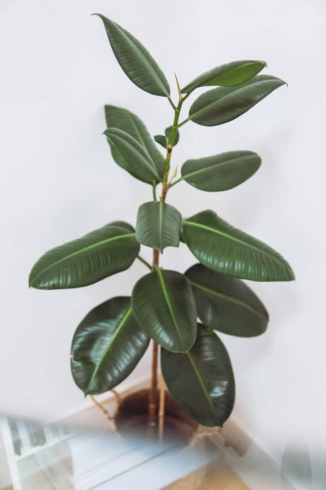 gummiplante