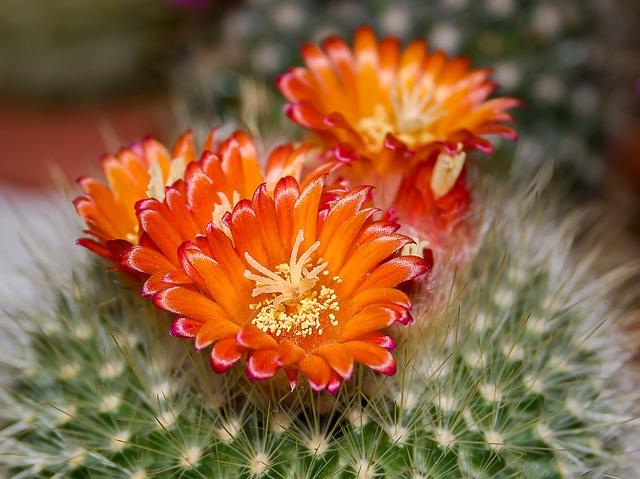 kaktus blomst