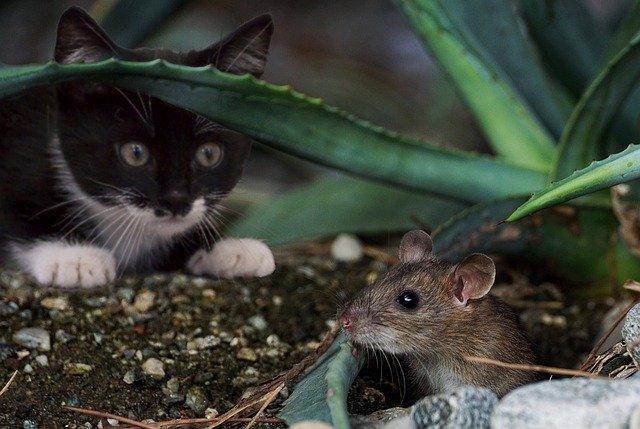 katt og mus