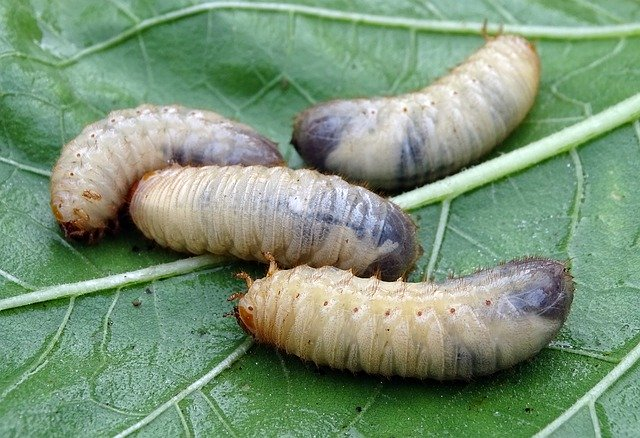 larver