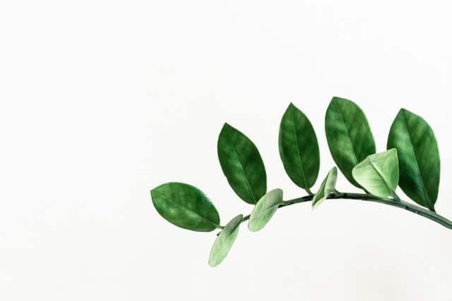 smaragdpalme