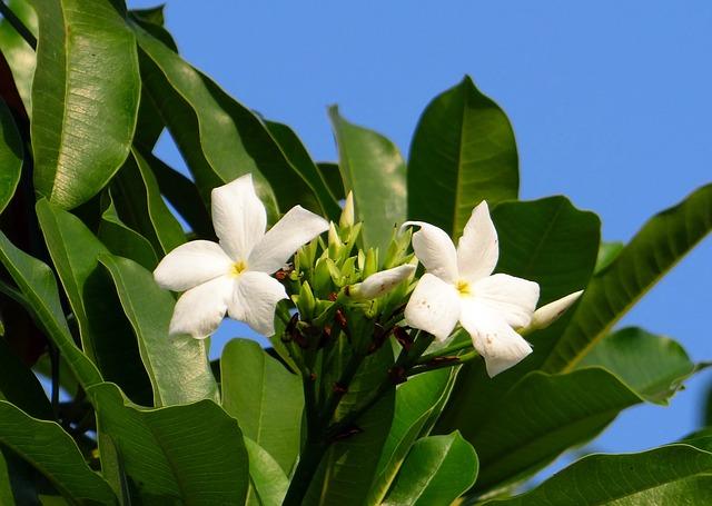 mangoblomst