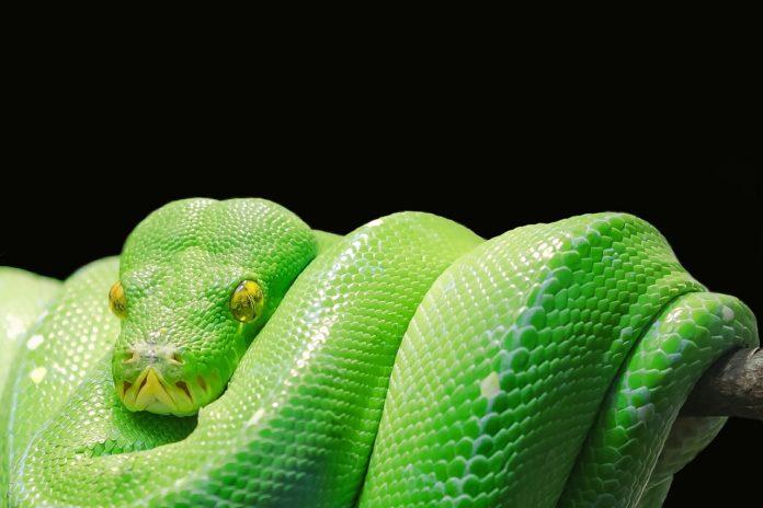 grønn trepyton hovedbilde