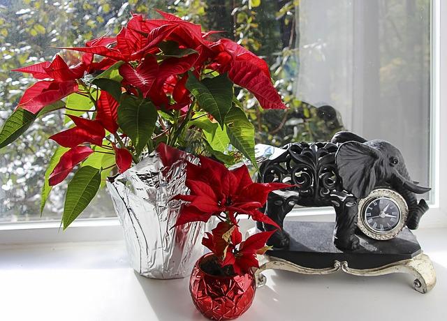 julestjerna i vindu
