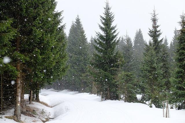 trær i snøen