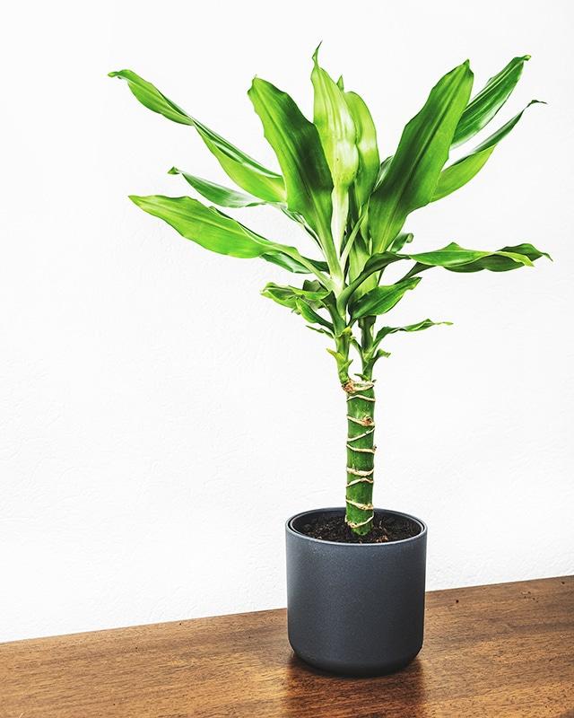 Dracaena plant 640