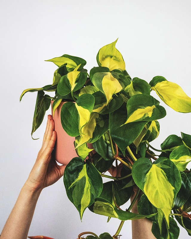 Philodendron 640
