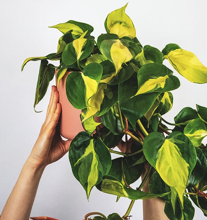 Philodendron hovedbilde