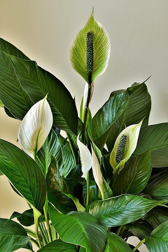 Spathiphyllum 640