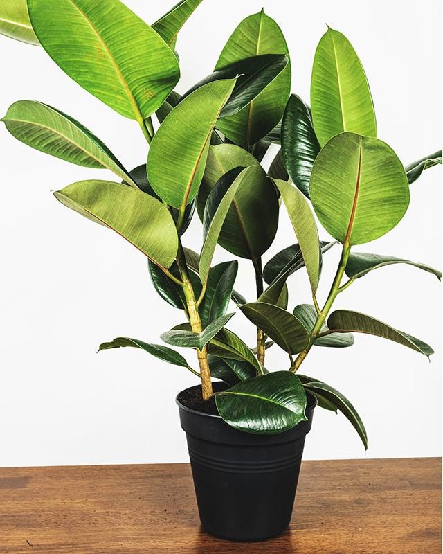 rubber tree 640