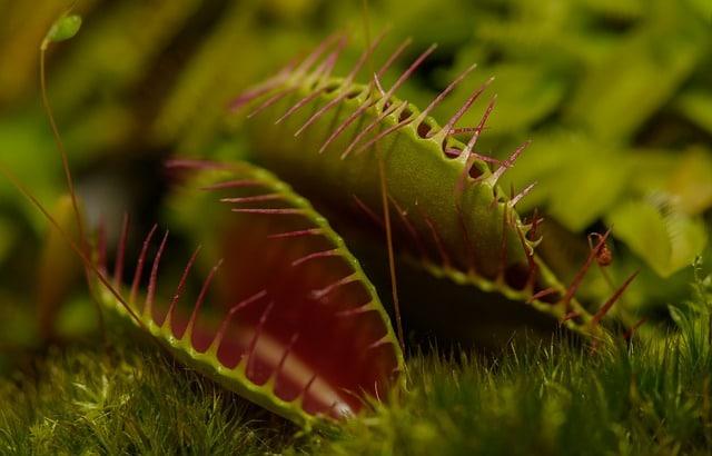 kjøttetende plante