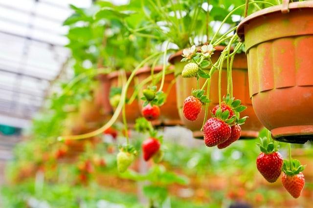 jordbær ampel