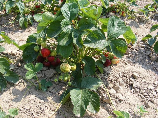 jordbær sand