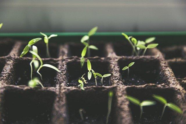 så tomatplanter